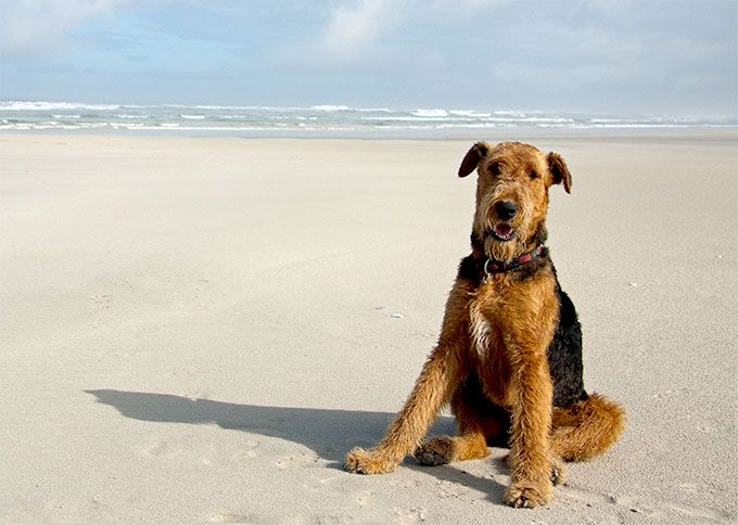 Airedale Terrier Dog Breed Information Pictures Characteristics Facts Hunderassen Terrier