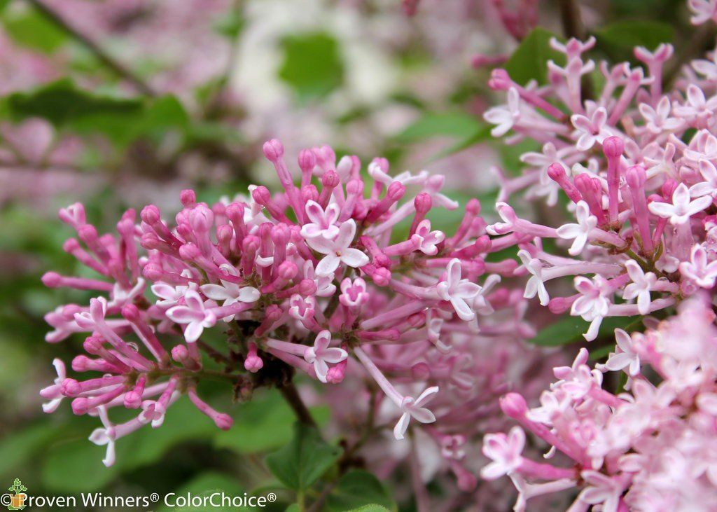 Bloomerang Dwarf Pink Lilac Lilac Varieties Fragrant Flowers Lilac Bushes