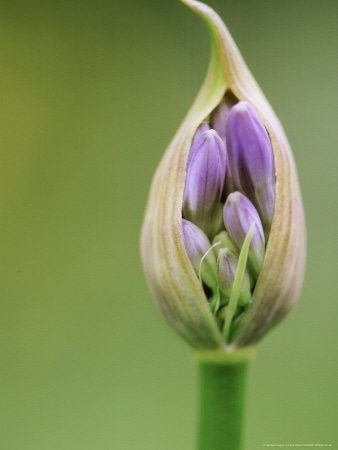 And Like A Timid Bud Slowly Yielding Itself To Its Destiny Flower Bud Beautiful Flowers Flowers