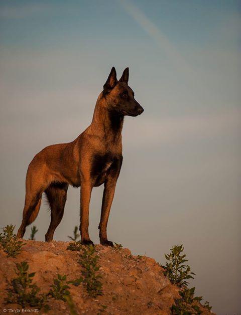 Mali Regal Malinois Hund Hunde Belgischer Schaferhund