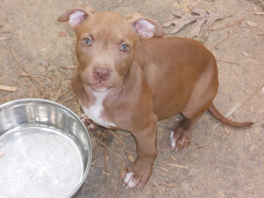 Red Nose Pitbull Puppies Female Red Nose Pitbull Puppies Pitbulls Red Nose Pitbull