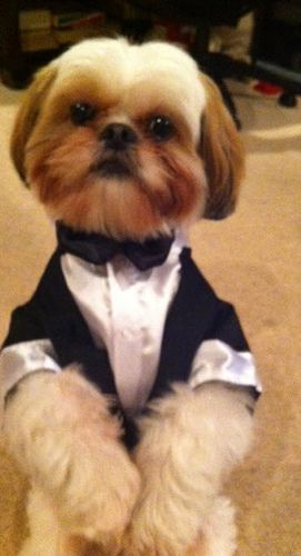 Name: Rocky Vu  Breed: Shih Tzu  Rocky is a lovable dog and knows more than 10 tricks including wave. He hasn't met a human that did not fall in love with him. He was the ring dog at our  wedding in May. If Rocky wins, it would be a great house warming gift as we move into our new apartment.