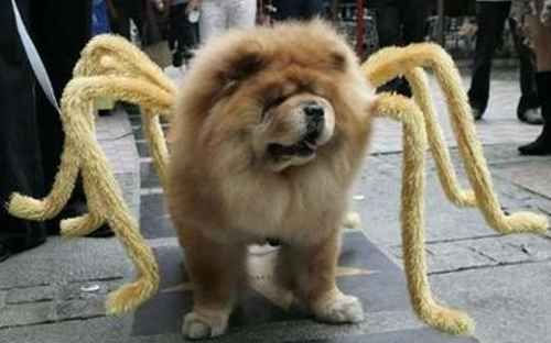 Chow Chow Spider The Best Kind Of Spider Pet Halloween