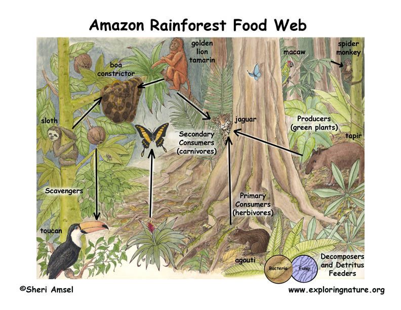 food webs amazon rainforest