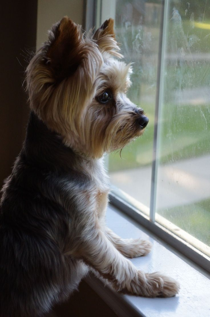 Yorkie I LOVE MY YORKIE Yorkies Haircuts Lover Animals Puppy NamesYorkie