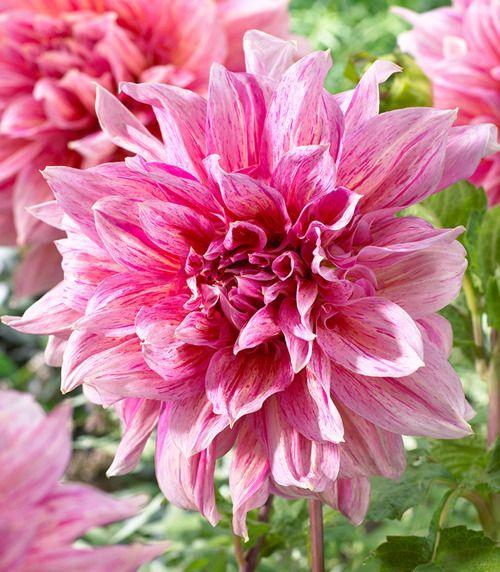 Dalia Dahlia Striped Emory Paul 1 Szt Cebule I Klacza Wiosenne Dalia Dahlia Dalia Dahlia Dahlia Tradgarden
