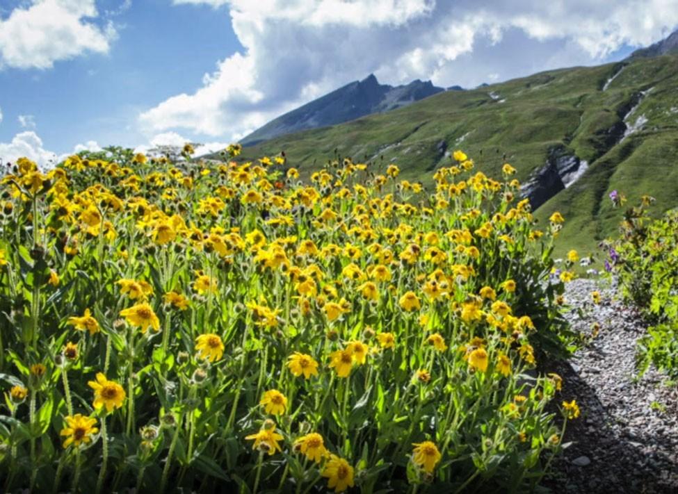 Quelles sont les vertus du macérat huileux d'arnica?   – Bien-être – Aroma/Phytothérapie