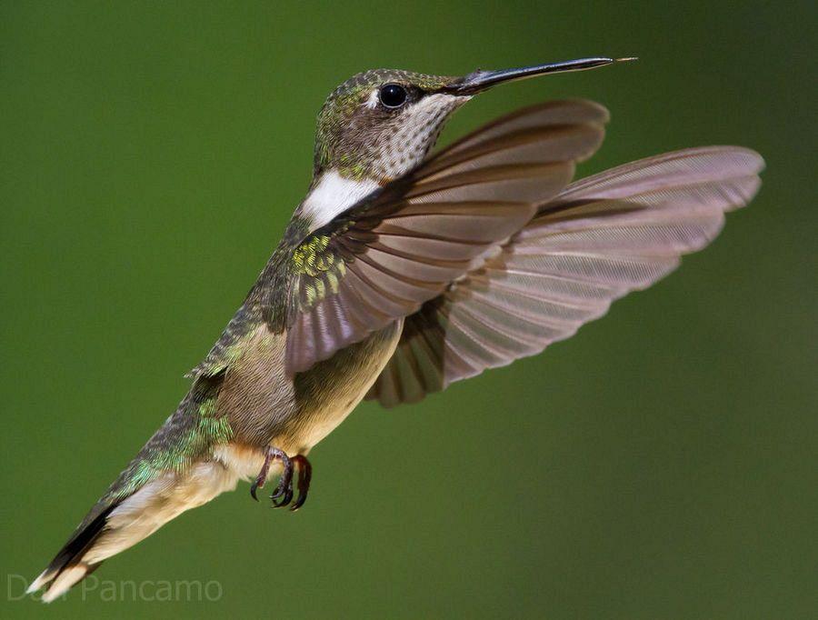 hummingbird American Ruby Throated Hummingbird