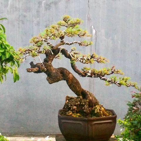Hasil gambar untuk casuarina bonsai #bonsai