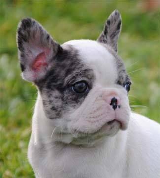 Merle French Bulldog | bulldog puppies | French bulldog