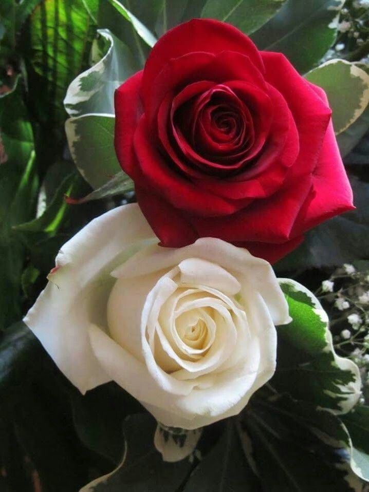My 2 Fav Colorz N Roses Rose Flower Wallpaper Beautiful Flowers Flowers