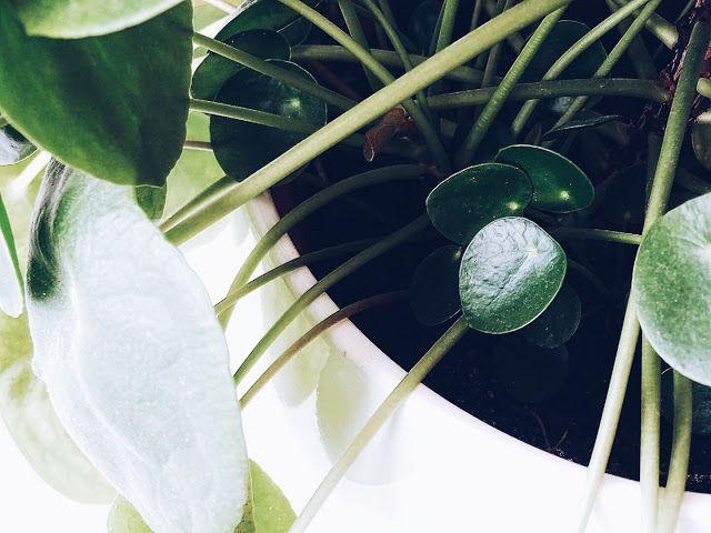 pflanzen im stimmungsvollen porzellan tannenwald alle fragen und antworten zur pflege. Black Bedroom Furniture Sets. Home Design Ideas