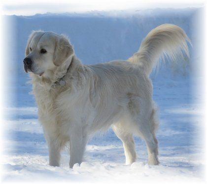 Available Pups English Cream Golden Retriever Breeder Golden