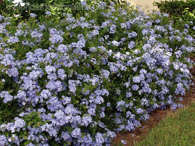 Plumbago ariculata a climbing shrub makes a nice for Blue flowering bush
