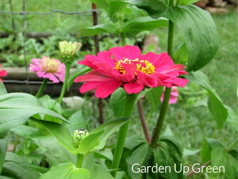 Get tips for growing zinnias, these wonderful flowers attract butterflies and they're easy to grow. Enjoy in the garden or use as cut flowers.