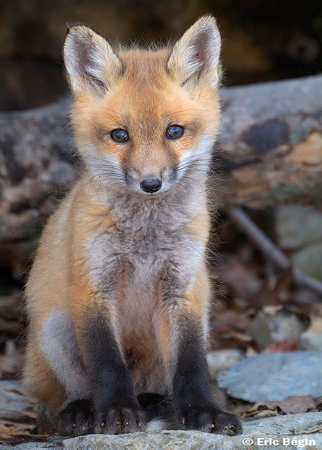 Red Fox Pup Wild Cute Animals Fox Pups Animals