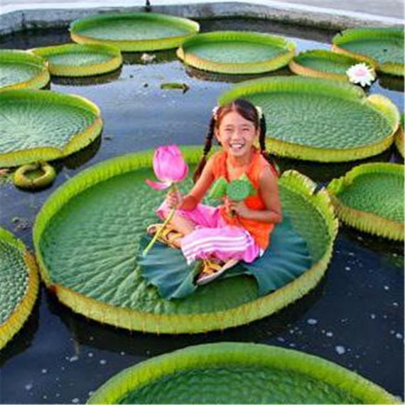 Victoria Amazonica Giant water Lily Rare Giant Lotus Aquatic Plant garden 5seeds