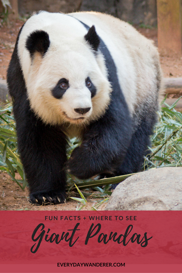 Giant Pandas - See them at Zoo Atlanta in Georgia #panda #atlanta  #georgia
