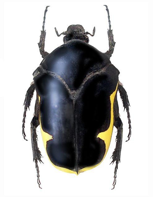 Gymnetis holosericea