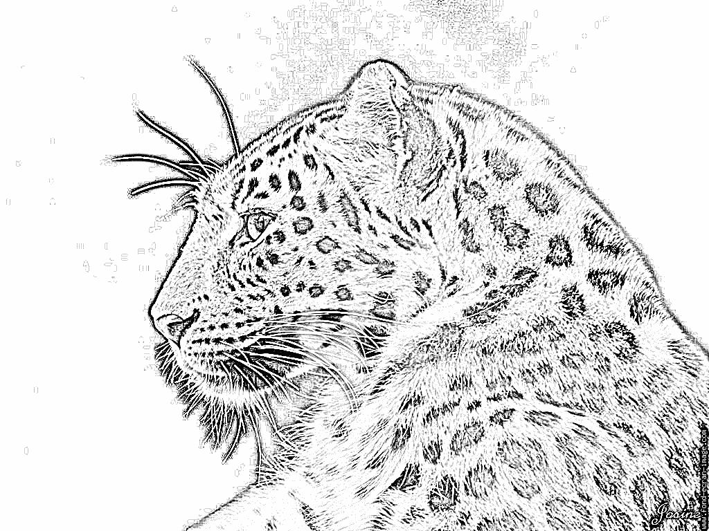 Autres animaux photos leopard coloriages coloriage le dessins pinterest - Image leopard a imprimer ...