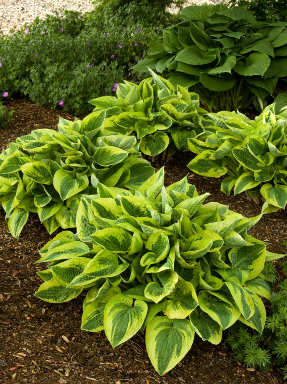 Wide Brim Hosta, 1 Quart Potted Plant, Perennial, Landscape, Border, Dense Foliage, Attracts Birds, Rock gardens, Companion plant, Beautiful is part of garden Landscaping Borders - Full Shade     Zones 4  8     Can be shipped dormant     Images of grown mature plants SHIPPING     These item typically ships in 1   2 business days   Most items typically ship USPS  Some larger items may ship UPS  Shipping estimated arrival time is 2  5 business days from the time of shipment  INTERNATIONAL SHIPPING     Ship to the United States only, no international orders