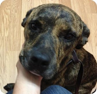 Roswell Ga Boxer Mountain Cur Mix Meet Aggy A Dog For Adoption
