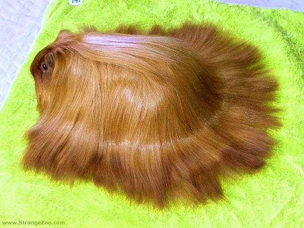 COOL LONG HAIRED GUINEA PIG - THAT'S FLUFFY!