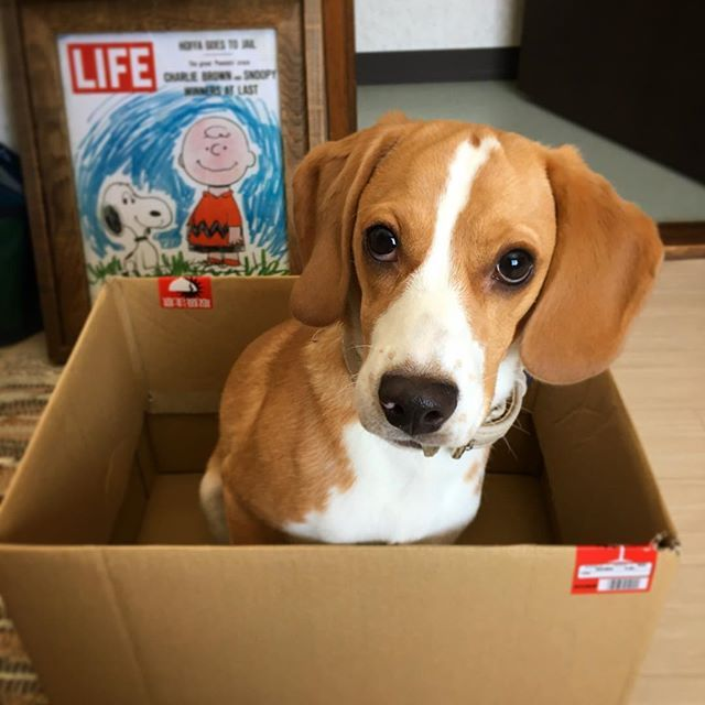 Good Snoopy Beagle Beagle Adorable Dog - 82a1701ce839005c4fd650c123b40ea9  Photograph_702815  .jpg