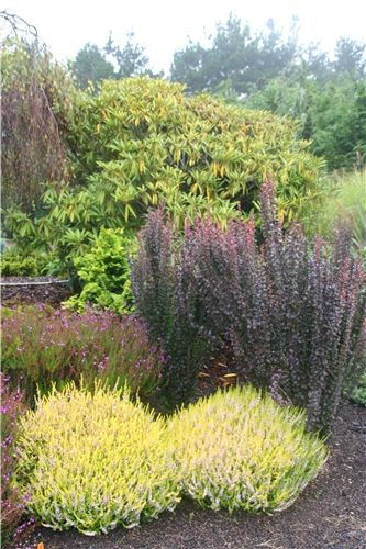 helmond pillar barberry for hiding septic tank - Garden Ideas To Hide Septic Tank