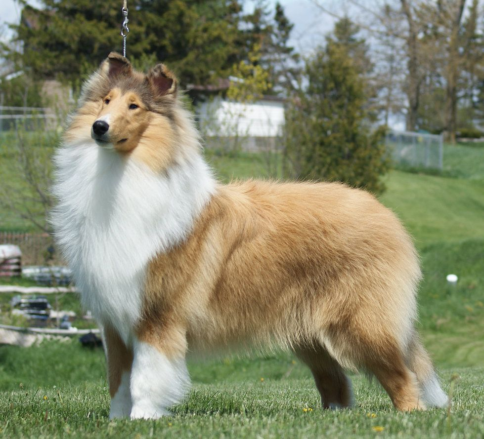 Uch Can Ch Am Ch Kaymann S Madame Hydra Cgn Collie Rough Collie