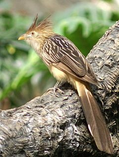 There Are 3 Types Of Cuckoos Found In N America The Black Billed Cuckoo Is Most Common Group Having A Range Across S Canada