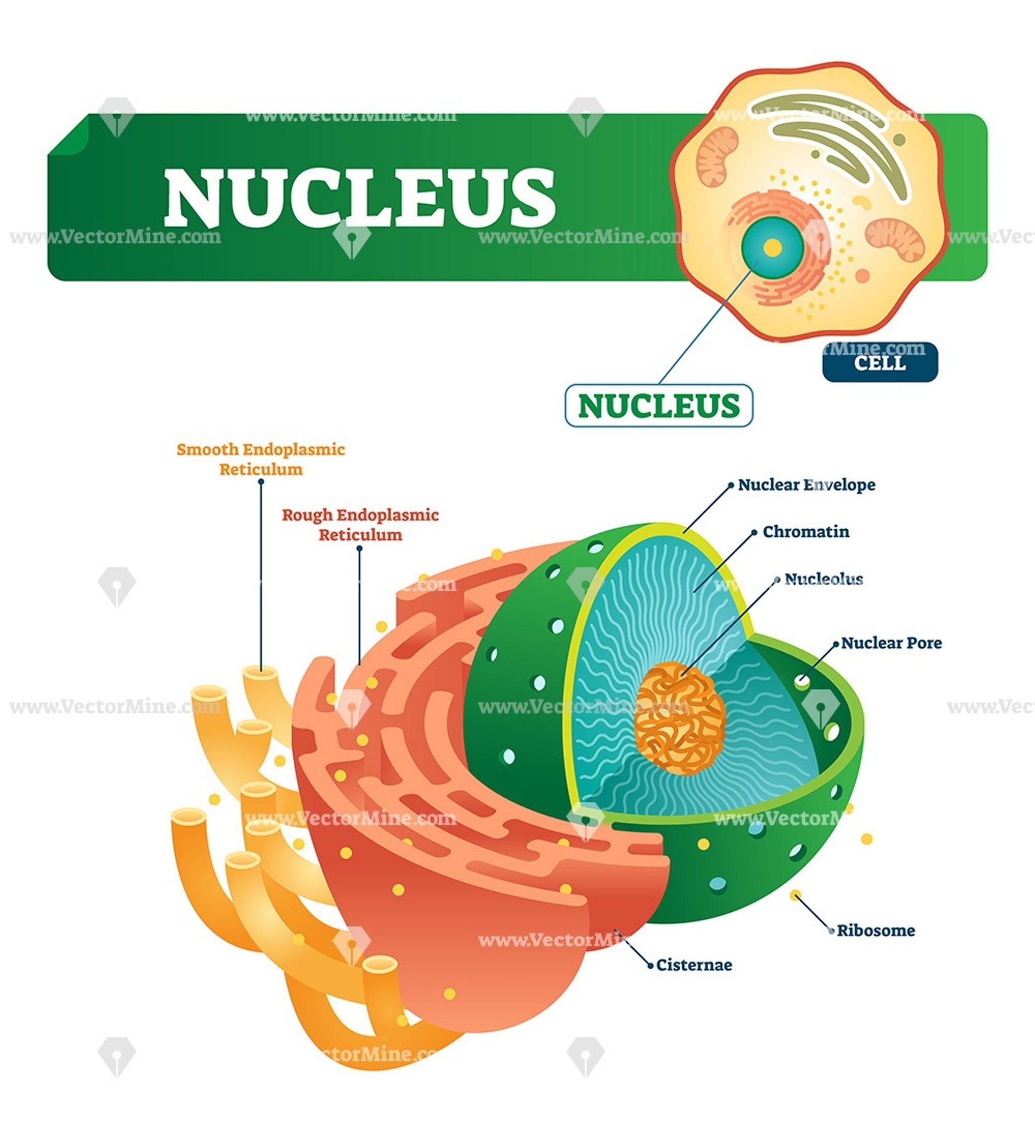 Nucleus Biological Vector Illustration Diagram Biology Lessons Nursing School Essential Biology Experiments [ 2271 x 2048 Pixel ]
