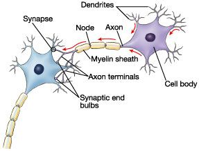 Brain Cells Anatomy And Function Neuron Structure Introduction To Psychology Psychology