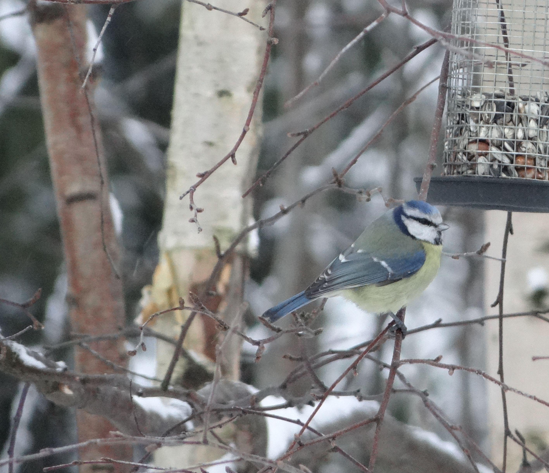 Eurasian Blue Tit / Blåmeis / Parus caeruleus