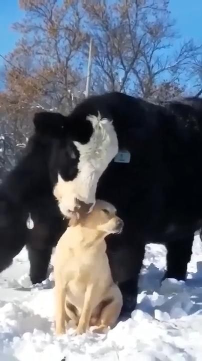 Cow loves the dog