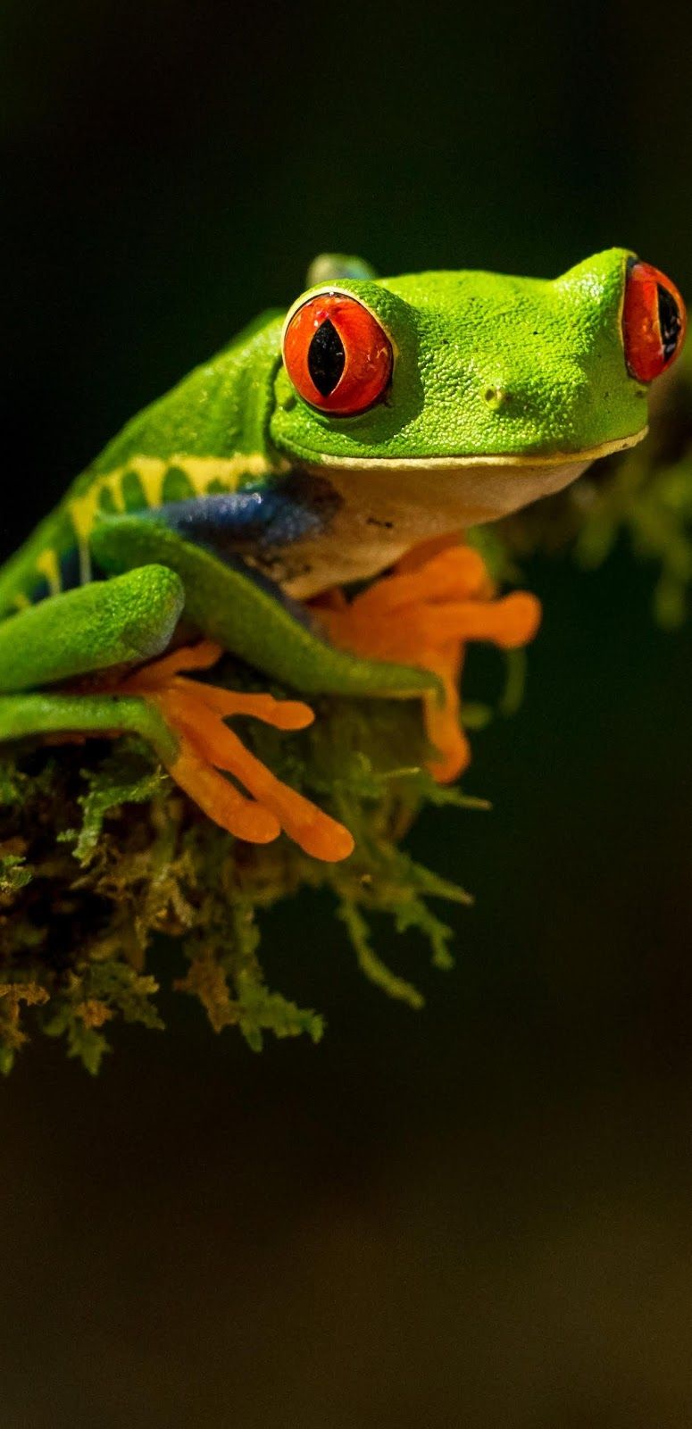 A tree frog's amazing red eyes. #Tree #Frog #Amphibians #Animals #Red #Eyes