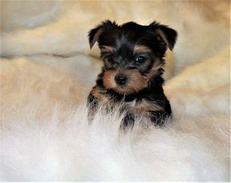 Litter Of 4 Yorkshire Terrier Puppies For Sale In Nicholson Ga Adn