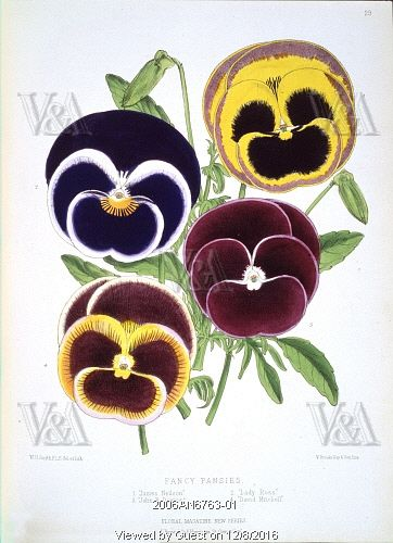 Fancy Pansies, published in Floral Magazine. London, England, 1872