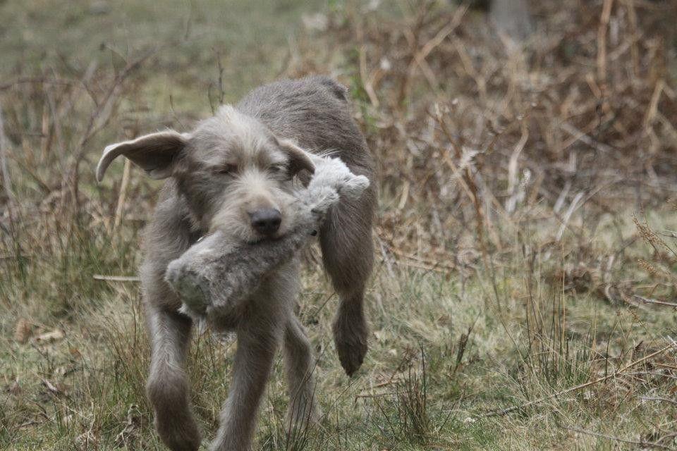 Slowakischer Rauhbart   Hunde   Pinterest   Slowakisch und Hunde