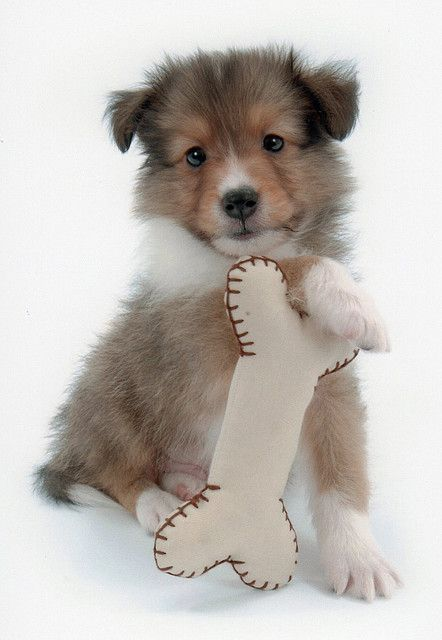 Toy Sheltie Sheltie Pup With His Toy Bone Shetland Sheepdog