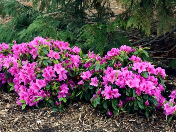 from hydrangeas to fragrant daphne browse our collection of shrubs and get - Shade Tolerant Shrubs