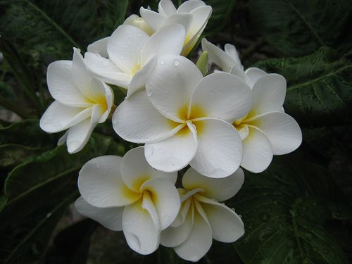 Plumeria - may I have the lovely scent of these gorgeous blossoms wafting through my home.