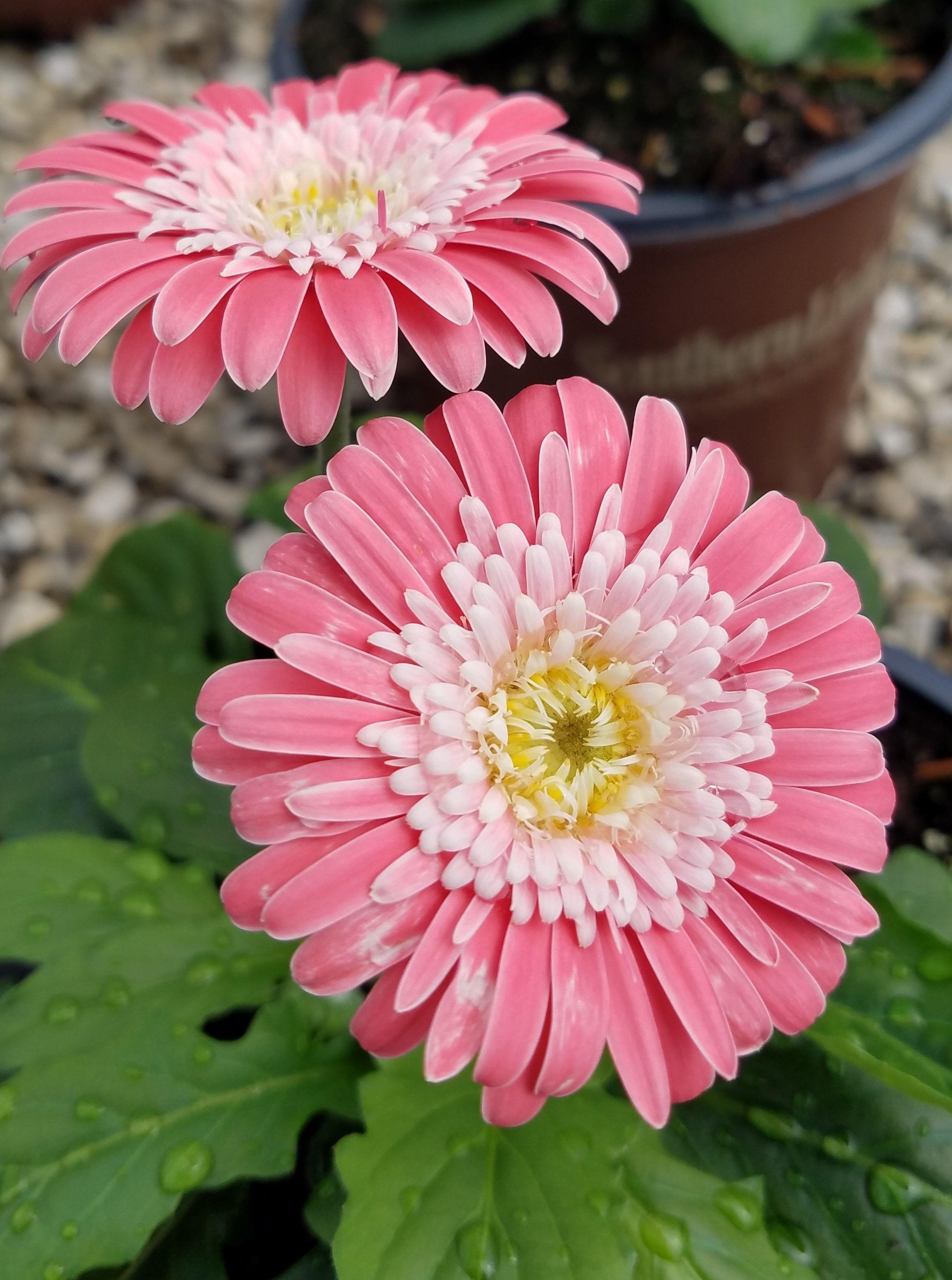 Pink Garden Jewels Gerbera Daisy Shop With Plantsbymail Com Gerbera Daisy Pink Garden Gerbera