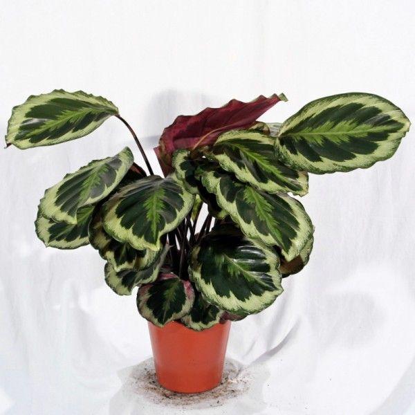 plante exotique int rieur plante d 39 int rieur marantha. Black Bedroom Furniture Sets. Home Design Ideas