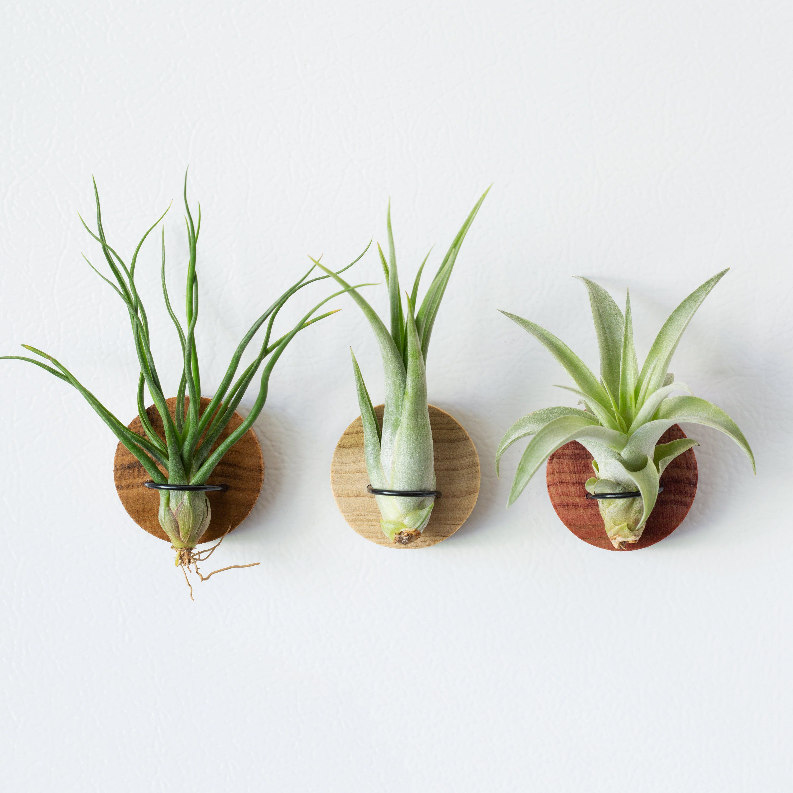 Yes, You Do Need to Water Air Plants—Here's How Small
