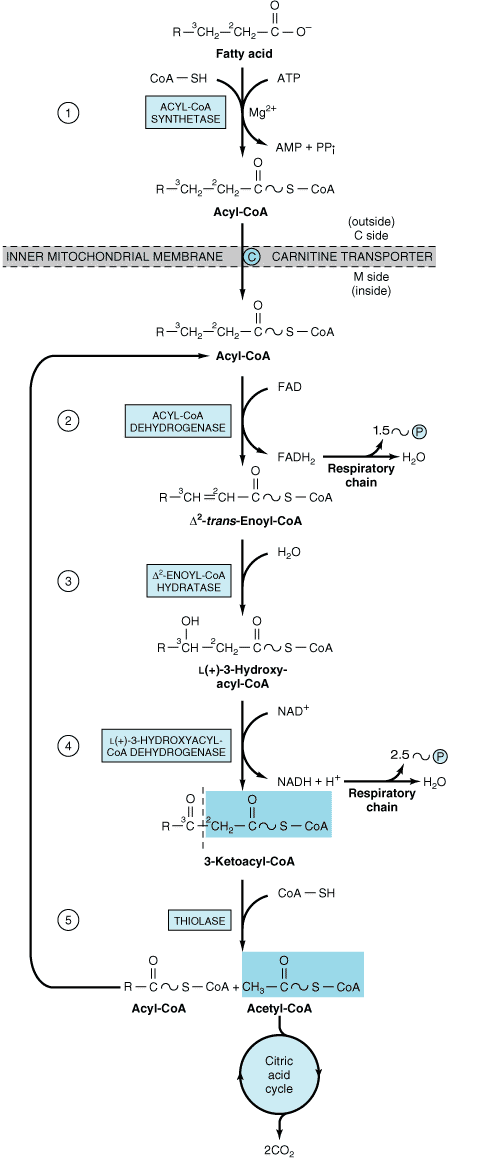 Fatty acid oxidation | Chemistry | Teaching biology ...