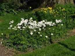 Anemone Sylvestris Snowdrop Anemome Beware Can Be Invasive As Spreads By Runners Shade Plants Backyard Plants Plant Images