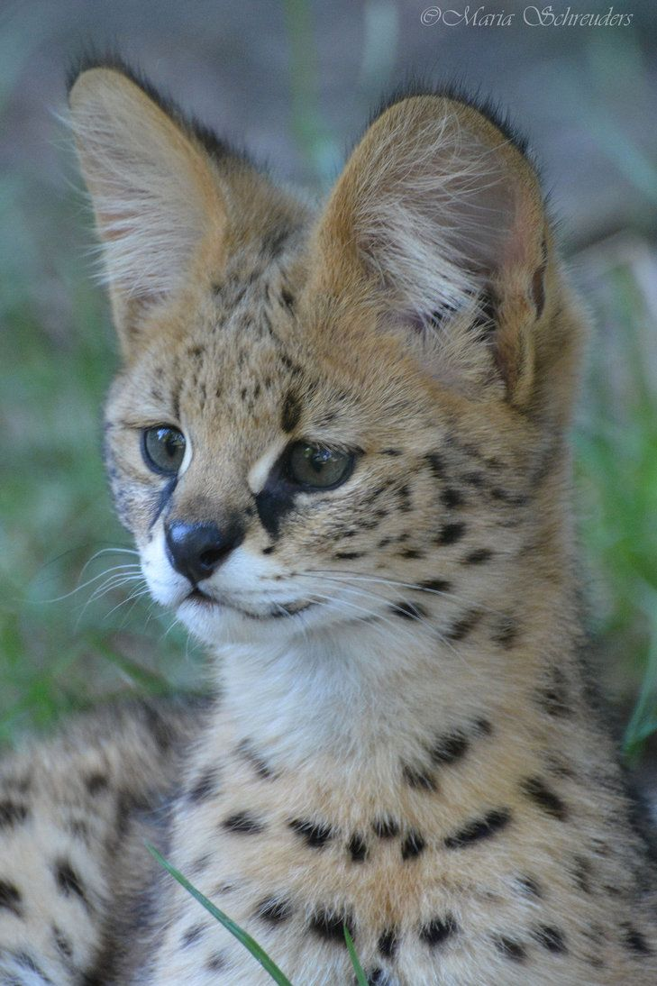Serval Kitten Animals Serval Pet Serval Kitten Serval Cats