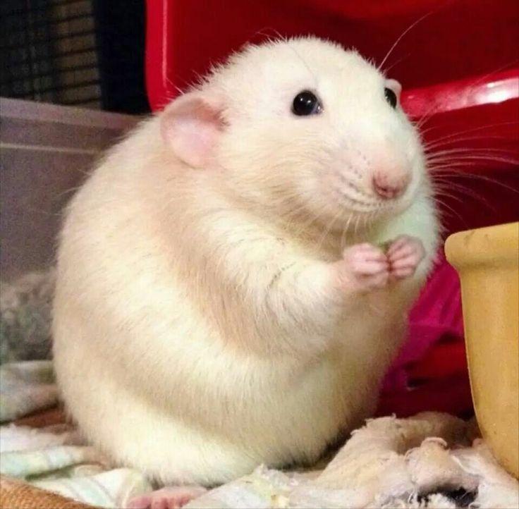 Pin On Animals Pet Rat