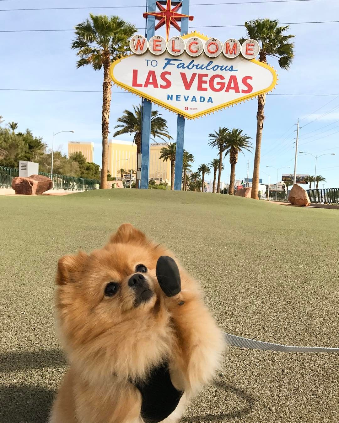 Welcome Sign Las Vegas Dog Cute Omg Daily Pomeranian Travel
